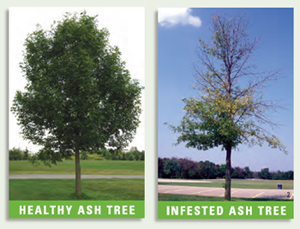 ash_trees_healthy_infested